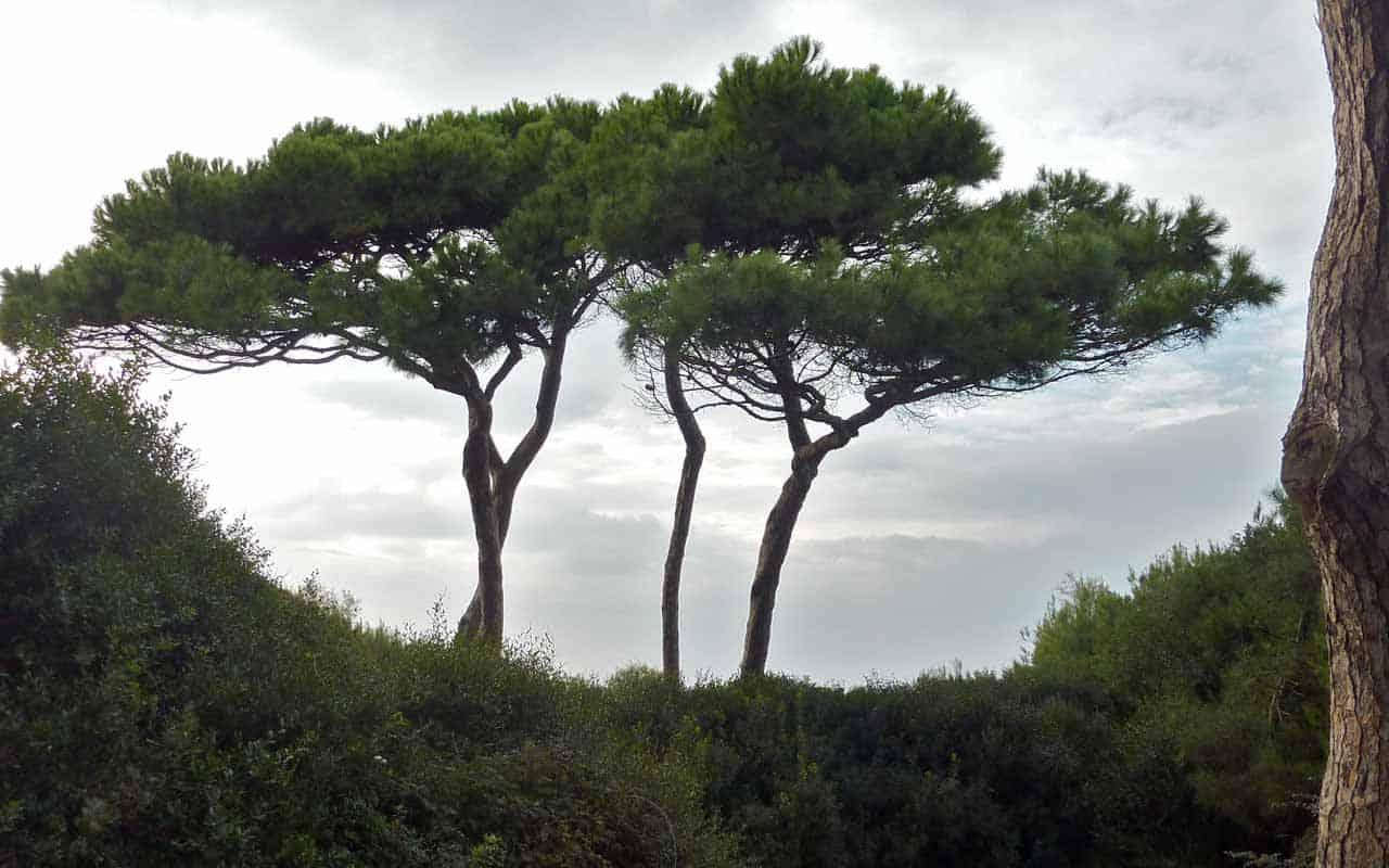 """Grosseto, Giovanni Di Meo (Fronte Verde): """"siano coerenti con la sostituzione dei pini"""""""